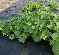 Growing Basil Bonnie Plants by Growing Cantaloupe And Honeydew Melons Bonnie Plants