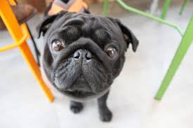 a popup pug cafe is coming to london metro news
