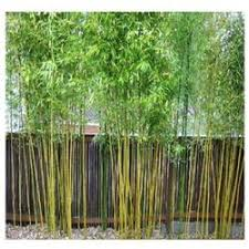 bamboo plants manufacturers suppliers wholesalers