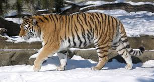 picture 5 of 11 siberian tiger panthera tigris altaica
