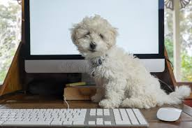 bichon frise desk calendars working from home with bichon frise puppy dog on desk with compu