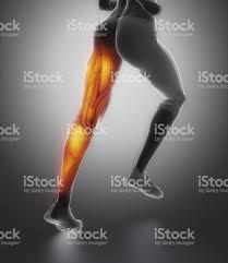 Female Muscles Anatomy Leg Female Muscle Anatomy Back View Stock Photo 476110210 Istock