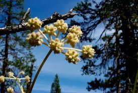 a species of native plant nonnative species devils postpile national monument u s