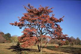 trees of ohio flowering dogwood