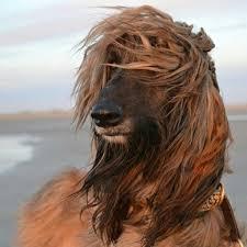 afghan hound judith light 543 best afghan hound images on pinterest afghans afghan hound