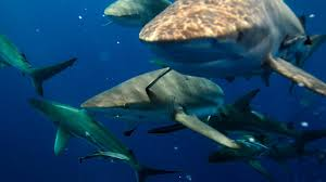 shark attack facts human shark bait national geographic channel