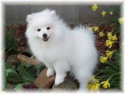how big is american eskimo dog 34 best american eskimo dogs images on pinterest american eskimo