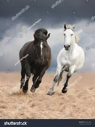 mustang horse running black white horses running wild free stock photo 218321968