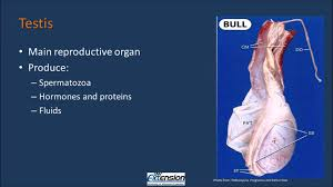 anatomy of a bull images learn human anatomy image
