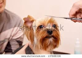 wszystko o bichon frise grooming shih tzu dog stock photo 144255763 shutterstock