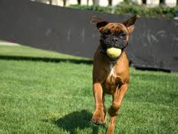 boxer dog youtube boxer dog breed training techniques dog training