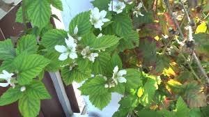 Flowers Information - blackberry flowers information about blooming and care youtube
