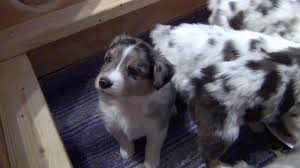 australian shepherd gray australian shepherd puppies at 5 weeks old youtube
