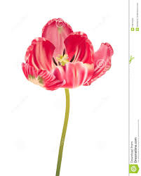 parrot tulip realistic illustration stock photography image