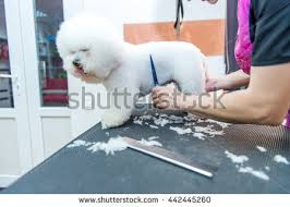 bichon frise breed standard pure bred bichon frise stock images royalty free images u0026 vectors