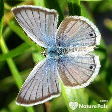 reakirt s blue small blue brown butterfly gardens with wings