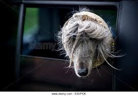afghan hound ireland afghan hound stock photos u0026 afghan hound stock images alamy