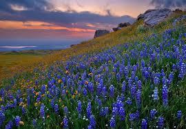 texas bluebells auntie dogma u0027s garden spot