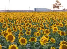 Salina Ks Sunflower Field By Kansas State University   salina ks sunflower field by kansas state university salina