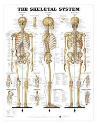 the skeletal system anatomical chart poster laminated