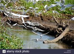 Seeking Kerala Whiskered Terns In Flight Seeking A Snack From A In