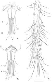 first record of clausidium copepoda clausidiidae from brazil a