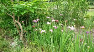 native louisiana plants world of irises la irises grow well with other plants