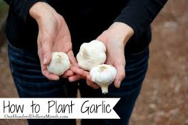 mavis garden blog how to plant garlic one hundred dollars a month