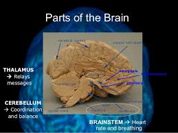 Part Of The Brain Stem That Is Involved In Arousal Brain Structure And Function