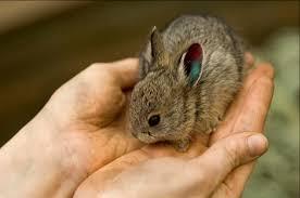 meet u0027s smallest rabbit zooborns