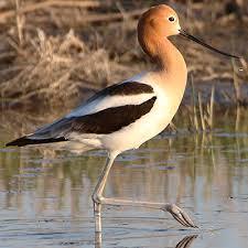 North Dakota birds images North dakota shorebirds and water birds north dakota game and fish jpg
