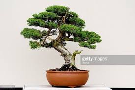 juniper tree stock photos and pictures getty images