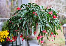 sweet southern days a christmas cactus
