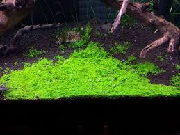 dwarf baby tears on 5 x 3 mat u2013 foreground carpet aquarium plant