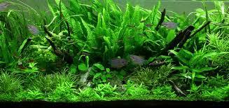 Aquascape Malaysia Hemianthus Callitrichoides Cuba Aquarium Plant U2013 An Aquascaper U0027s