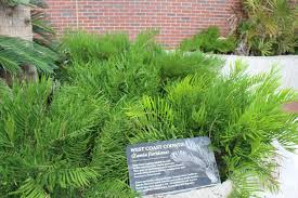 plants native to florida file west coast coontie zamia floridana florida museum of