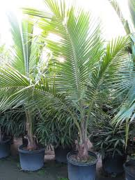 palm sunday palms for sale 43 best trees bush etc images on palm trees date