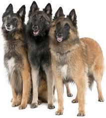 belgian sheepdog traits belgian shepherds advice you can trust