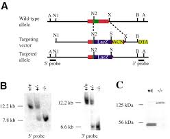 the murine winged helix transcription factor foxl2 is required for