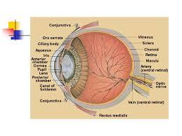 Surface Anatomy Eye Ophthalmic Products Dr M Wazaify R Abu Dahab University Of