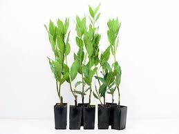 shop plants laurus nobilis bay tree sweet bay from