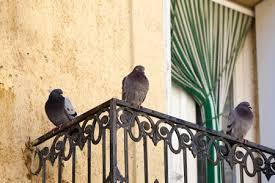 tauben auf dem balkon weg mitglied füttert tauben auf dem balkon das geht nicht