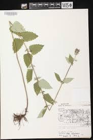 native plants wisconsin online virtual flora of wisconsin agastache foeniculum