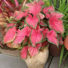 red ruffles caladium bulbs pack of 5 garden spot pinterest