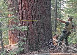 handful of heavyweight trees per acre are forest chs uw news