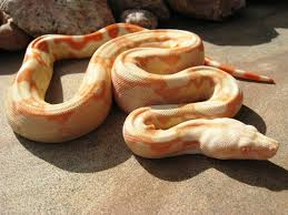 post your top 5 boas thread archive reptile insider forums