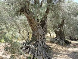 al bab the ancient olive trees of bechealeh