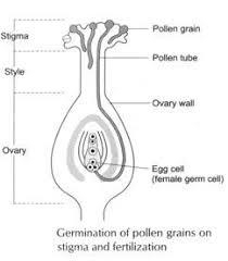 Where Is The Pollen Produced In A Flower - sexual reproduction in flowering plants with diagram