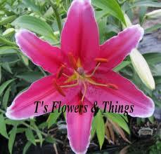 oriental lily u0027cobra u0027 bulbs 3 00 ea lily bulbs for sale