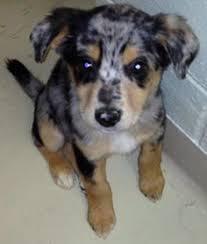 australian shepherd boxer mix my terra belle she is an aussie boxer mix cute puppies doggies